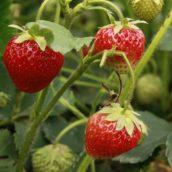 Sadzonki truskawek – dlaczego warto zdecydować się na frigo?